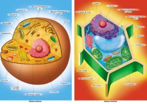 Célula: ¿Qué es?, Tipos, Partes, Célula animal, Vegetal y mucho más